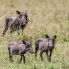 Warthog mother and young