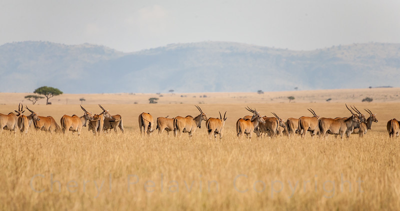 Common Eland Herd and Savannah