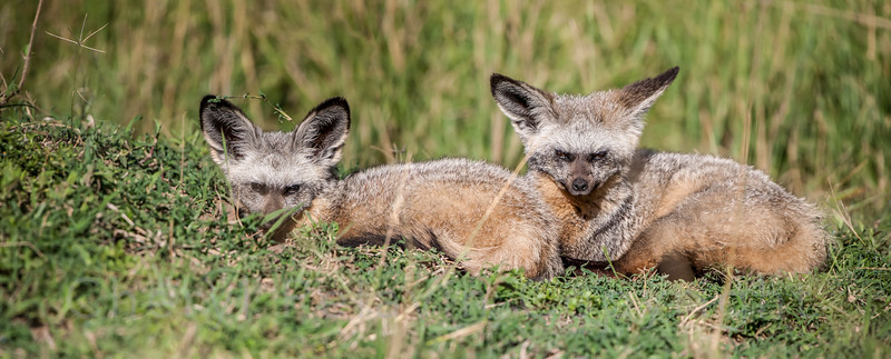 Two Bat Eared Foxes 1