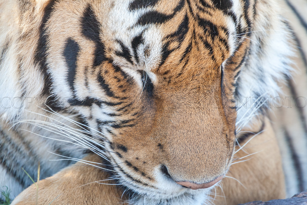 Dozing Tiger