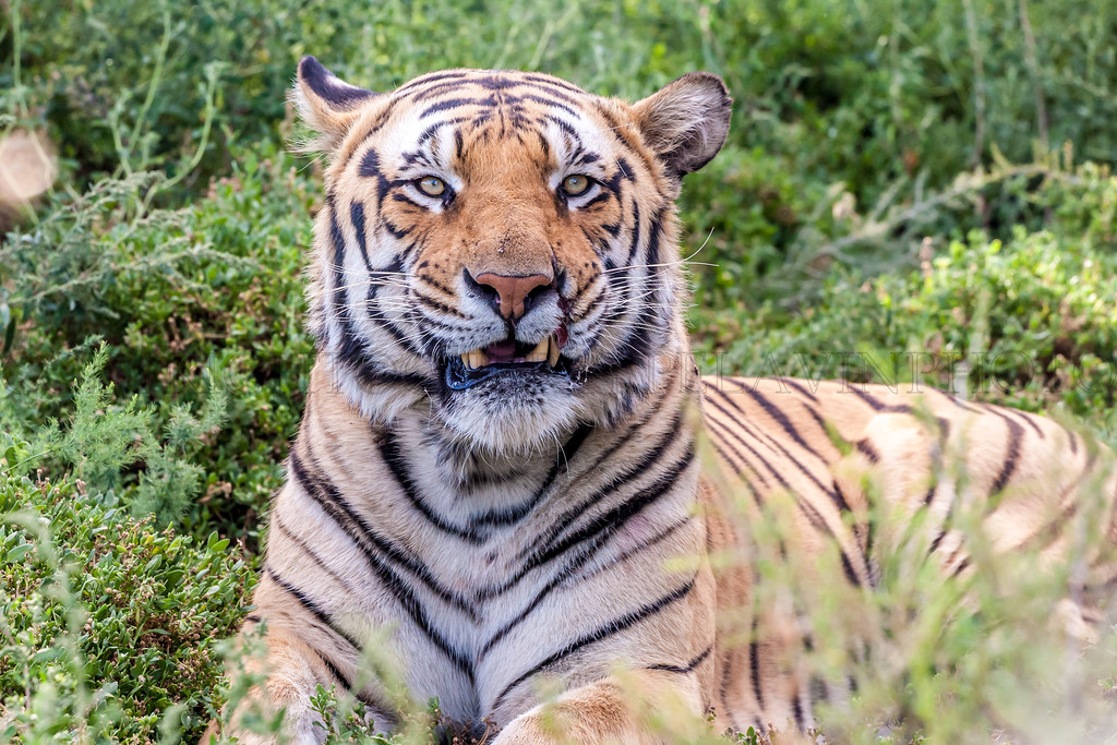 Seato, Large Adult Male Tiger
