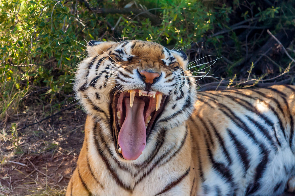 Tiger Canine Teeth