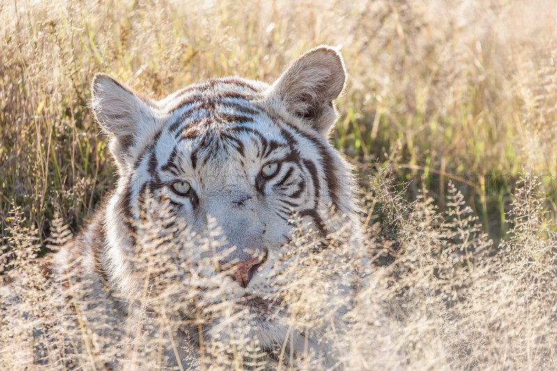 Tibo, White Tigress in the Grass