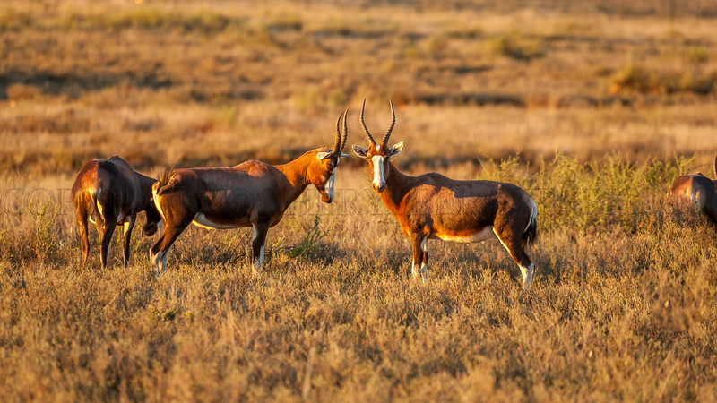 Blesbok in Tiger Canyons