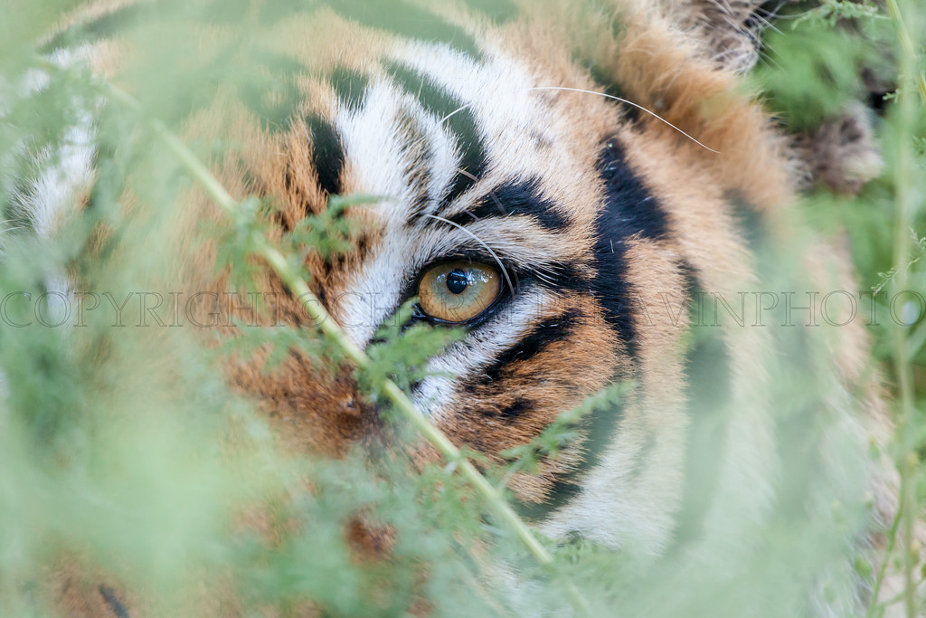 Tiger Hiding in Shrubbery