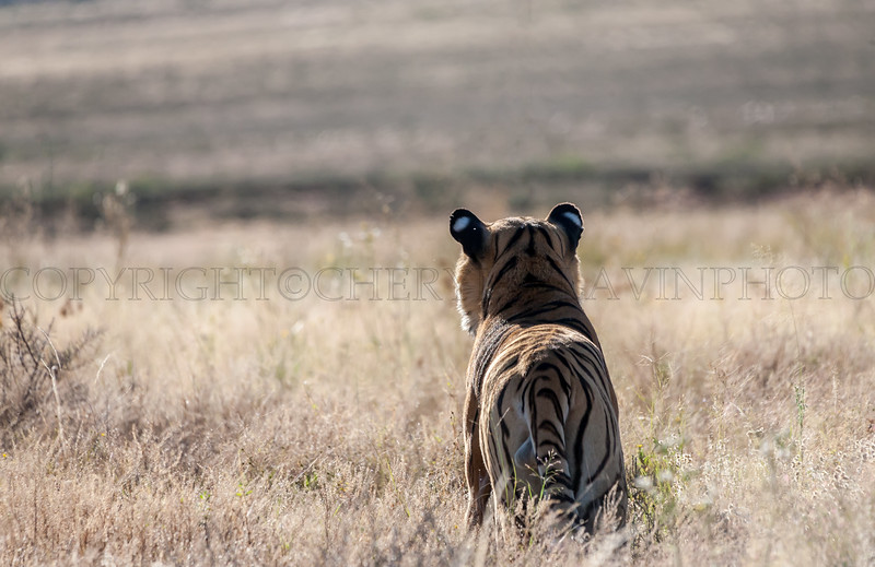 Alert Tiger from Behind