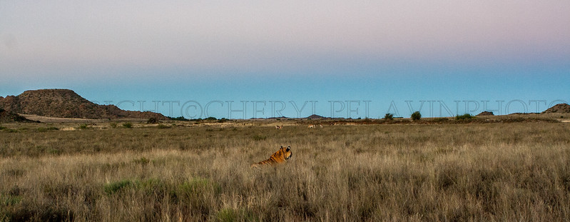 Tiger at Dusk with Game