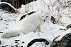 Arctic-fox-in-rocks-1