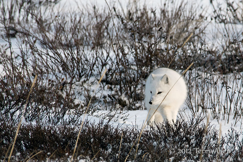 Arctic-fox-in-willows-2