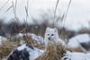 Arctic-fox-in-reed-grass-3