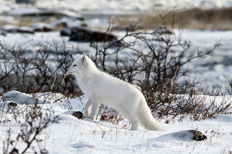 Arctic-fox-in-willows