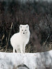 Arctic-fox-&-willows-1