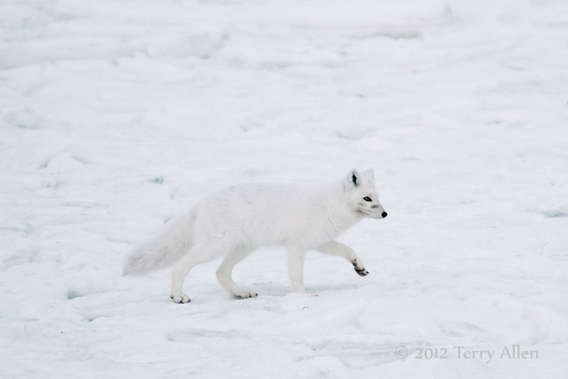 Arctic-fox-on-snow