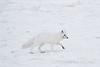 Arctic-fox-on-snow