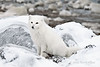 Arctic-fox-hunting-for-food-11