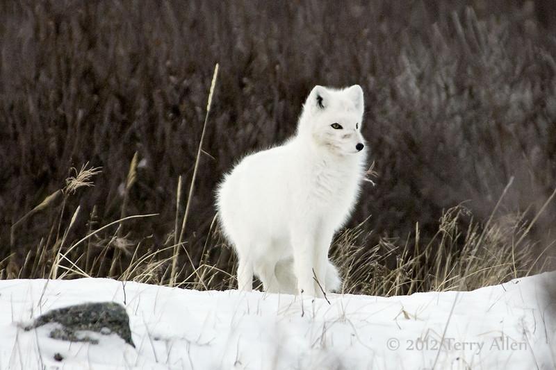 Arctic-fox-&-willows-2