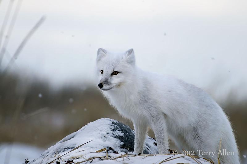 Arctic-fox-on-snowy-rocks-3a