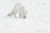 Arctic-fox-9
