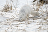Arctic-fox-&-reed-grass-1