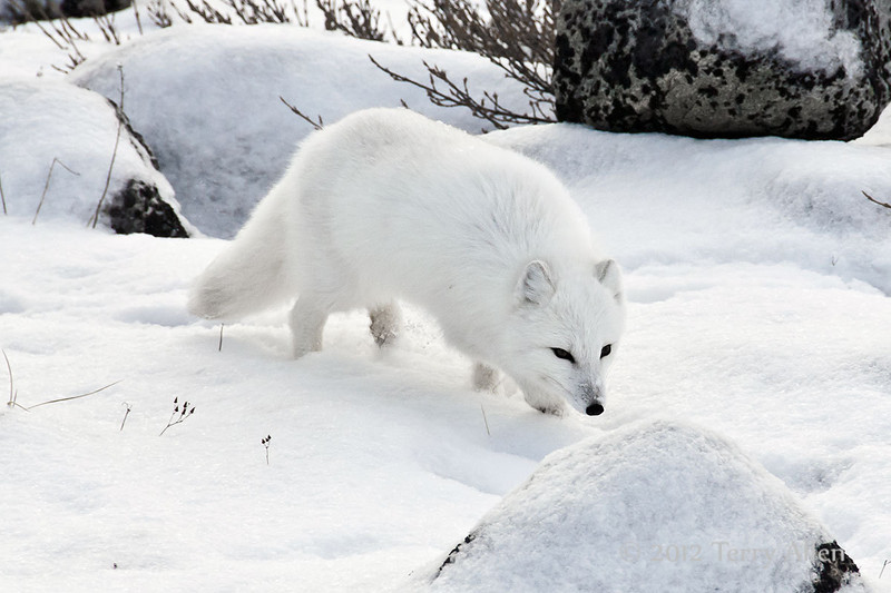 Arctic-fox-on-shores-of-Hudson's-Bay-3