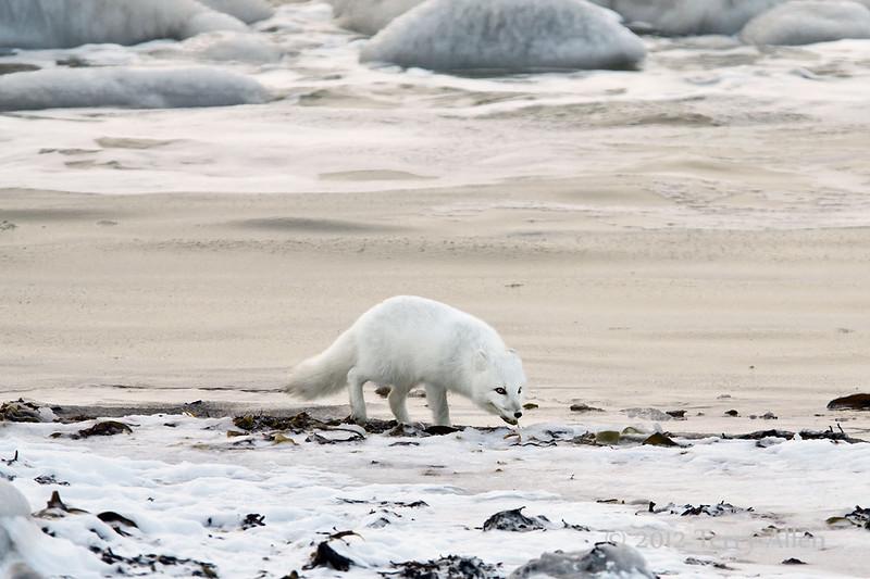 Arctic-fox-on-beach-8