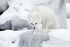 Arctic-fox-hunting-for-food-3