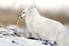 Arctic-fox-on-snow-pile-2