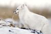 Arctic-fox-on-snow-pile-2