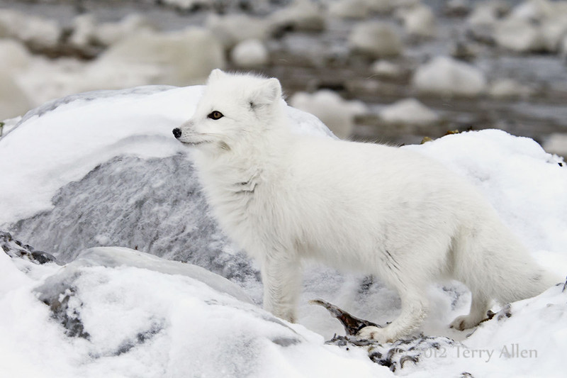 Arctic-fox-hunting-for-food-10
