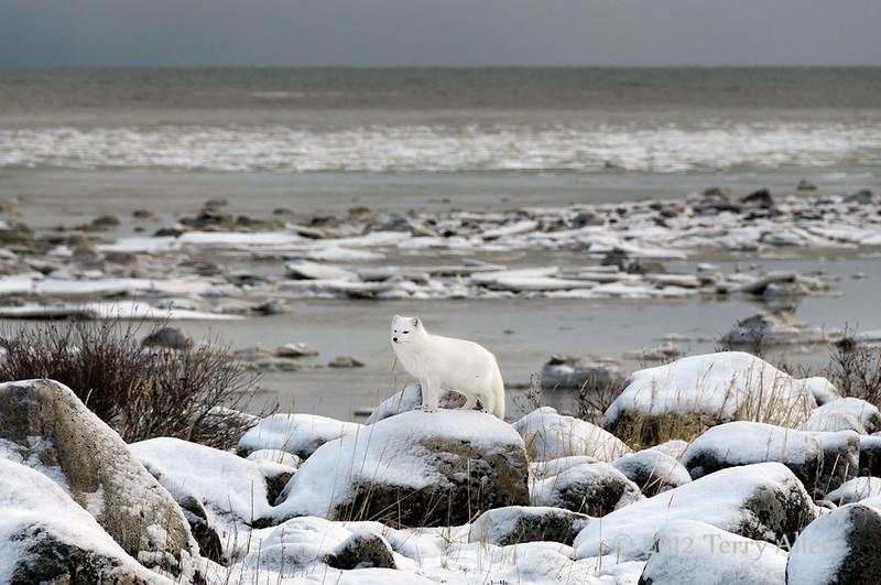 Arctic-fox-on-shores-of-Hudson's-Bay