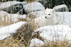 Arctic-fox-in-reed-grass-2