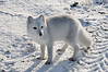 Arctic-fox-4