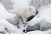 Arctic-fox-hunting-for-food-2