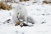 Arctic-fox-searching-for-food