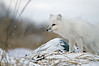 Arctic-fox-on-snowy-rocks-2