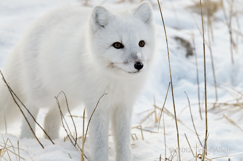 Arctic-fox-11