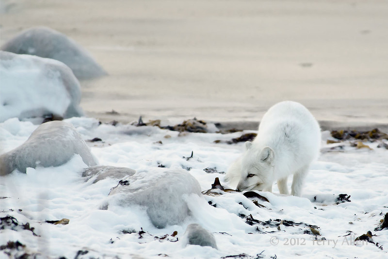 Arctic-fox-on-beach-12