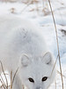 Arctic-fox-eyes