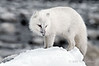 Arctic-fox-on-snow-pile-1a