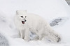 Arctic-fox-hunting-for-food-6