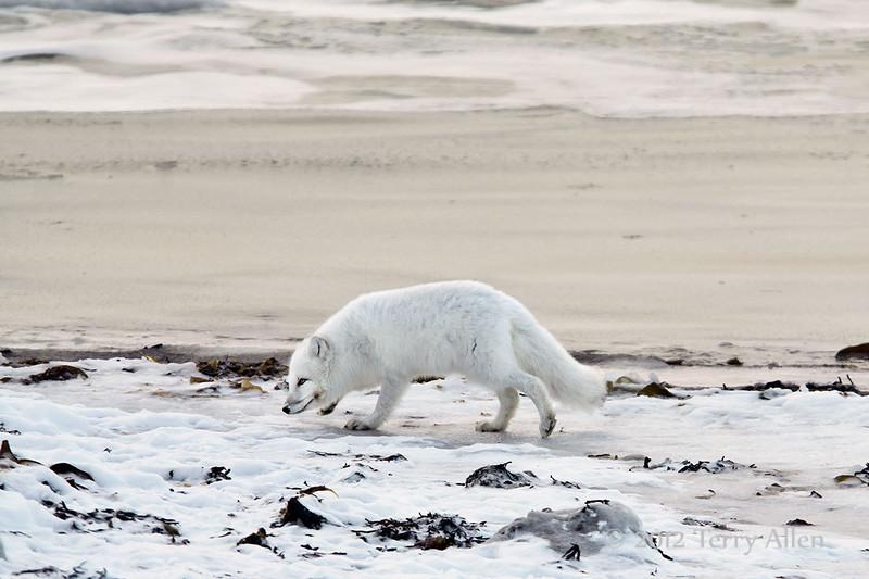 Arctic-fox-on-beach-7