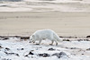 Arctic-fox-on-beach-7