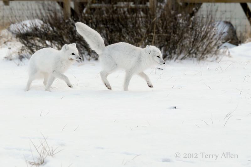 Arctic fox pair
