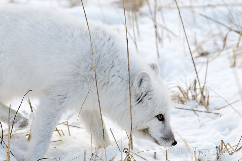 Arctic-fox-hunting