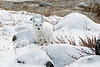 Arctic-fox-on-shores-of-Hudson's-Bay-2