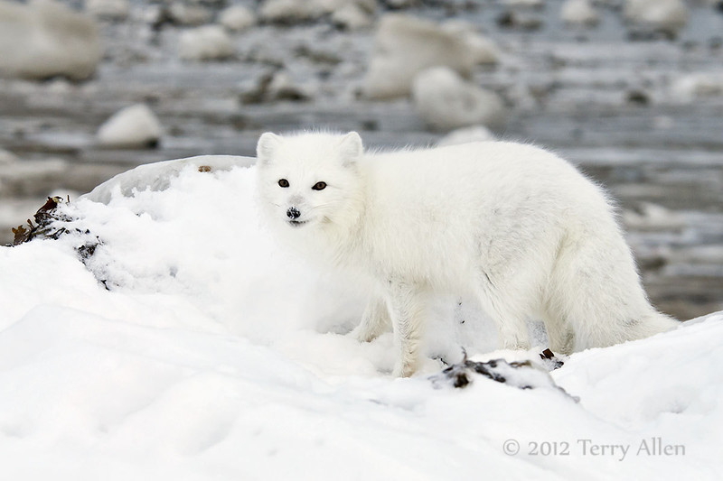 Arctic-fox-hunting-for-food-8