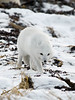Arctic-fox-on-beach-3