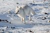 Arctic-fox-1