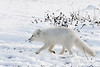 Arctic-fox-10