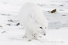 Arctic-fox-on-beach-2